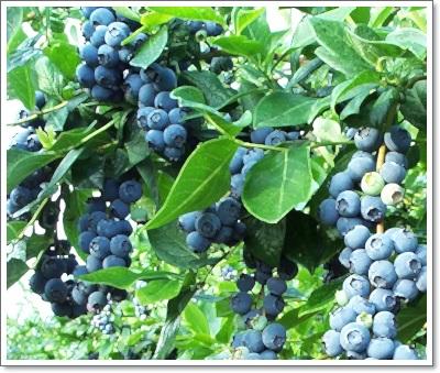 bluecrop.jpg